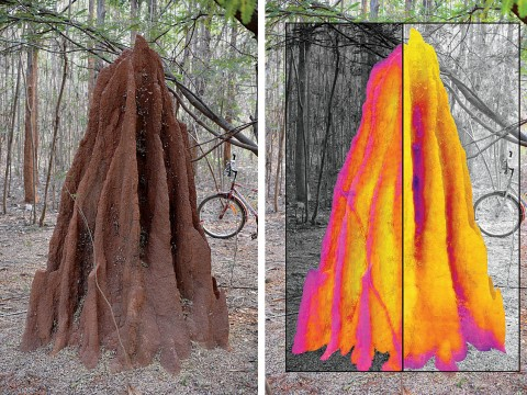 Thermal maps superimposed on this termite mound show contrasting temperature profiles for night (left half) and day (right half).